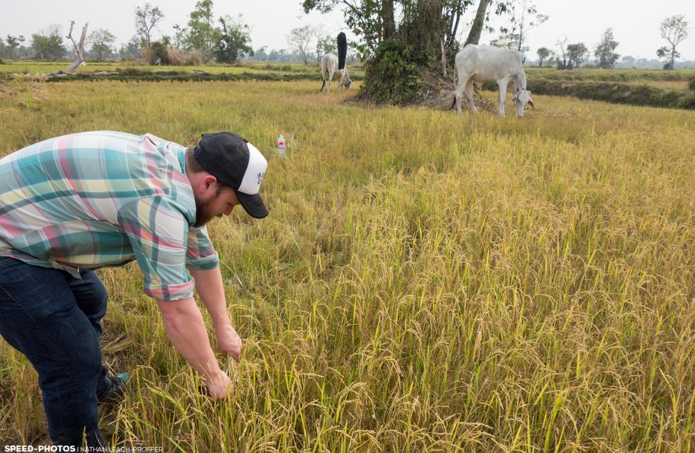 cutting rice cambodia