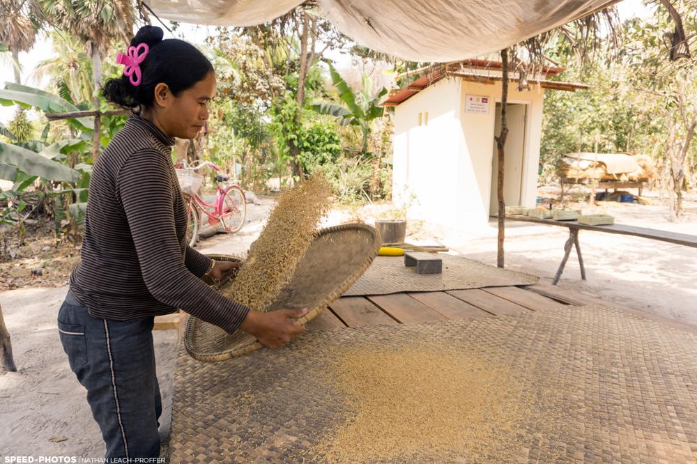 sorting rice cambodia