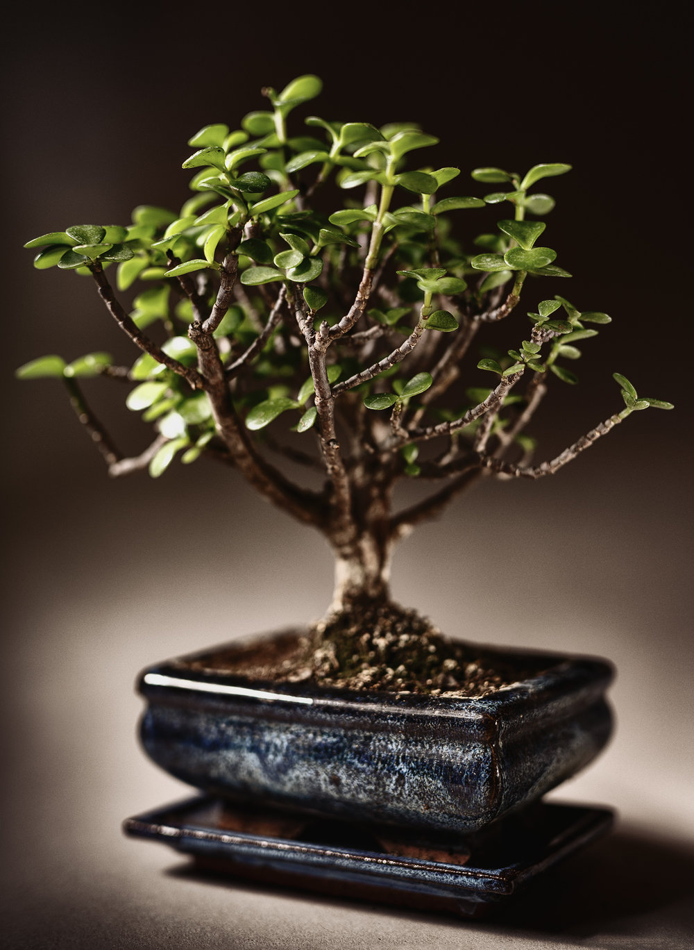 Bonsai Baum - Foto