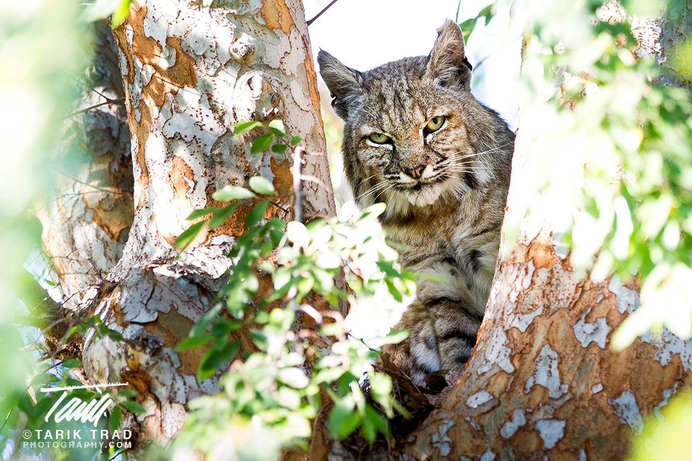 Bobcat up a Tree