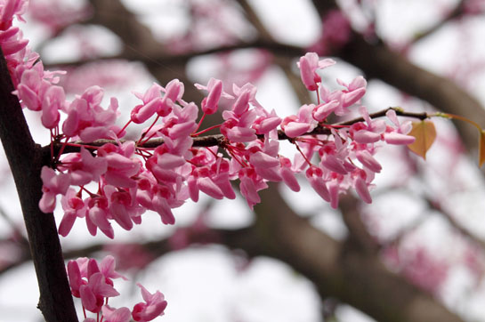 Pink blossoms in early April
