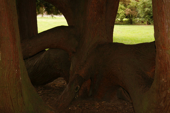 Photo of a huge tree in Seattle's Volunteer Park