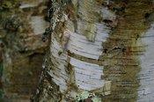 Wet, peeling bark