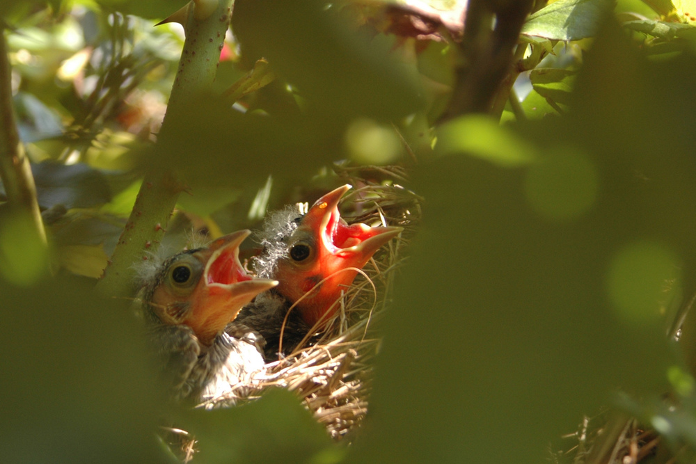 baby-birds-with-mouth-open.jpg