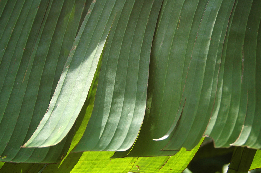 banana-leaf-shoot-01-DSC_6815.jpg