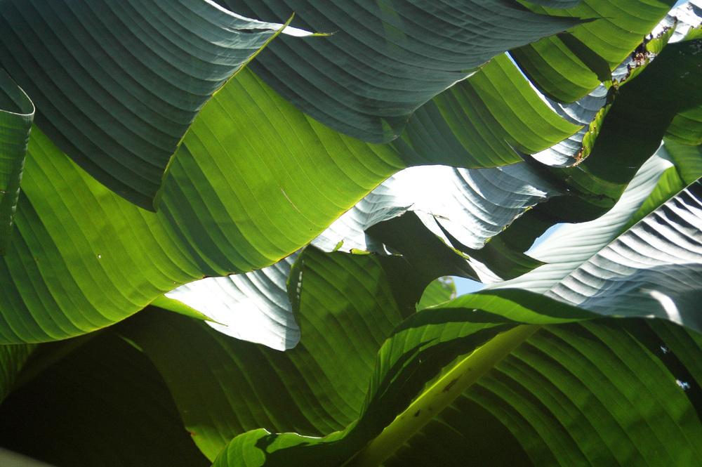 banana-leaf-shoot-01-DSC_6820-crop.jpg