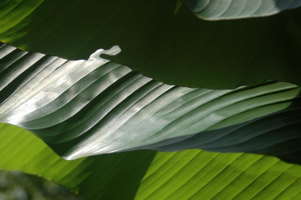 banana-leaf-shoot-01-DSC_6922.jpg