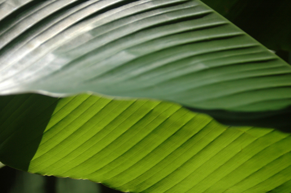 banana-leaf-shoot-01-DSC_6920.jpg