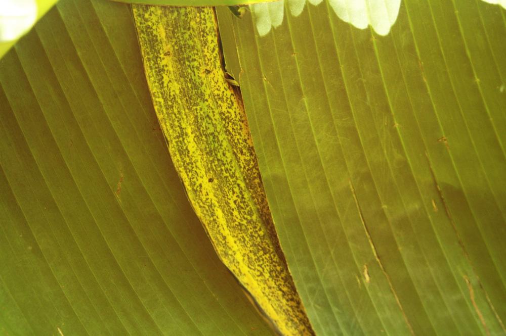 banana-leaf-shoot-01-DSC_6942.jpg