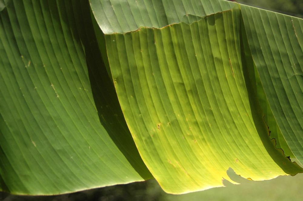banana-leaf-shoot-01-DSC_6945.jpg