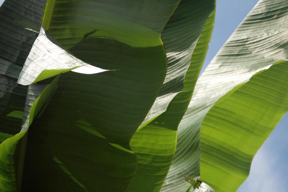 banana-leaf-shoot-01-DSC_6952.jpg