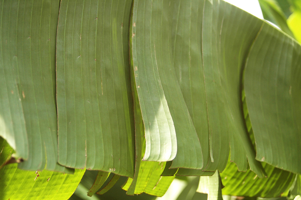 banana-leaf-shoot-01-DSC_6970.jpg