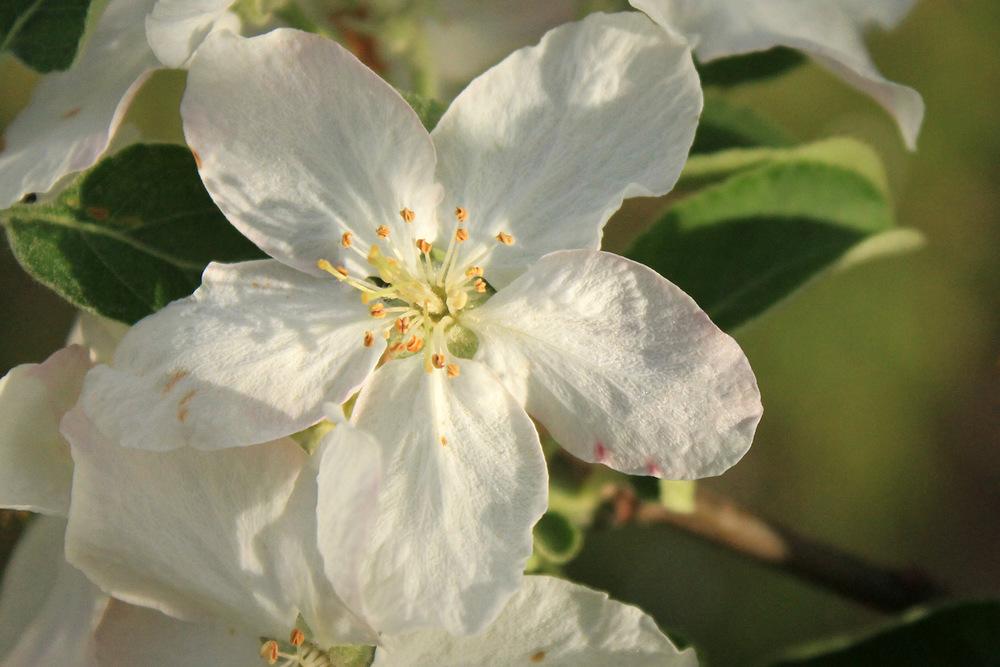 Perfect Apple Blossom