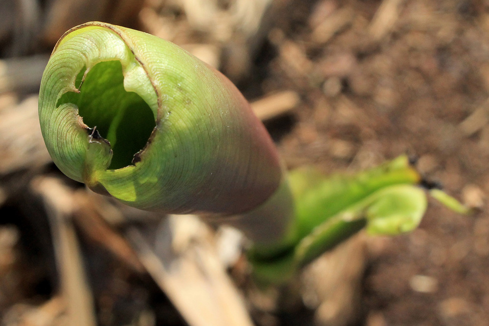 Before It Becomes A Majestic Banana Tree Leaf