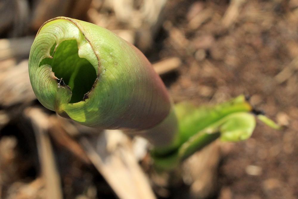 banana-leaf-opening-in-round-IMG_0954-zoom.jpg