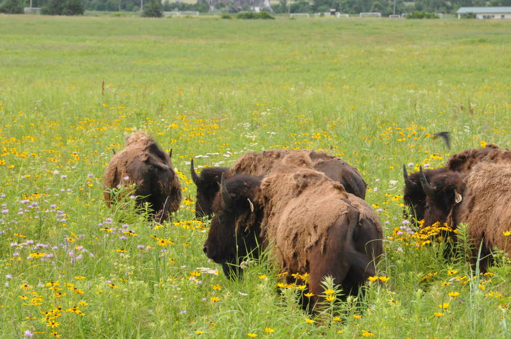 Bison graze on the restored prairie at the Belwin Conservancy. Photo Credit: ?