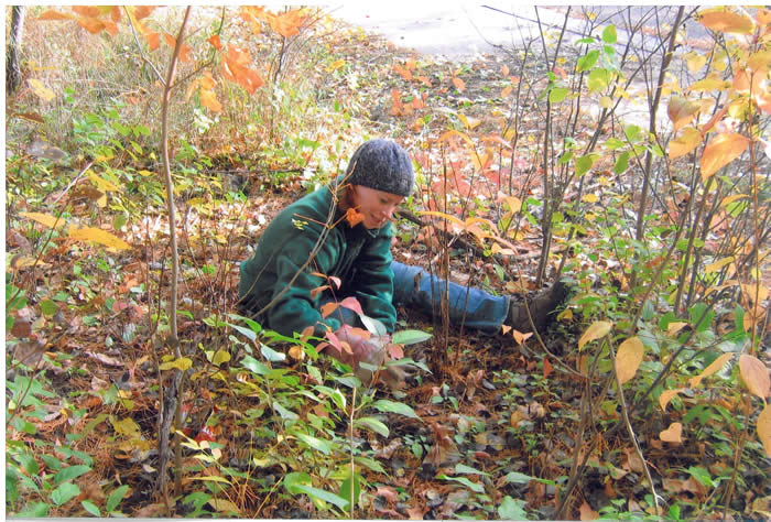 Pulling young buckthorn plants by hand