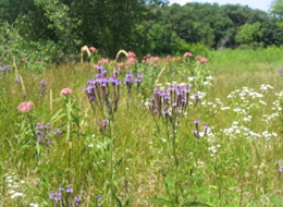 Wildflowers such as blue vervain, Joe-pye weed and some asters and goldenrods are found naturally in wetlands.