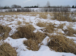 Reed Canary grass is frequently found in wetlands, specifically in the drier ones, but it is not limited to wetlands, so other characteristics such as soils and landscape position must be investigated.