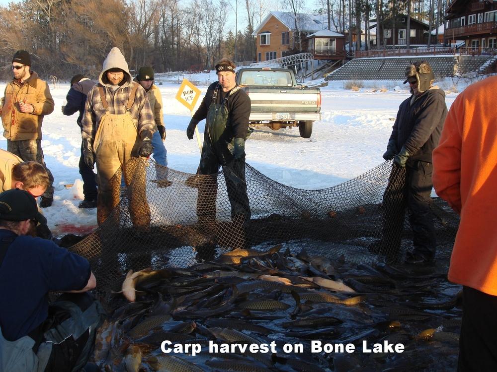 Carp harvest at Bone Lake.jpg