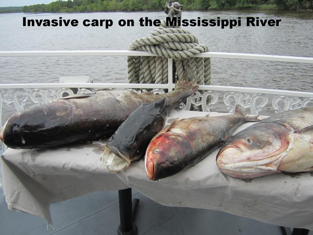 Asian carp displayed during Mississippi River boat tour.JPG