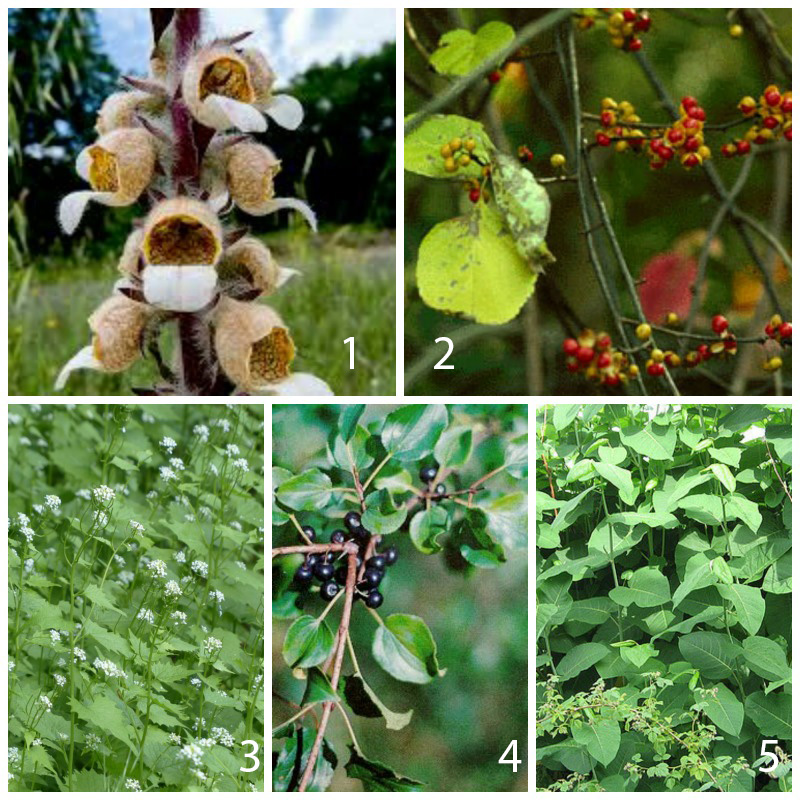 Are any of these noxious weeds invading on your property? Let us know! We can help.    1.  Grecian Foxglove  TOXIC: DO NOT TOUCH    2.  Oriental Bittersweet    3.  Garlic Mustard    4.  Buckthorn    5.  Japanese Knotweed