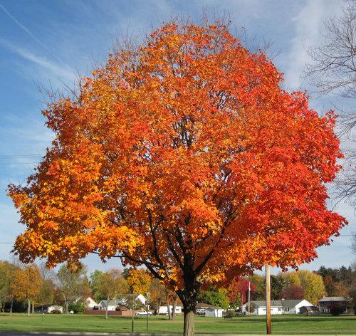 Sugar Maple Acer Saccharum Washington Conservation District