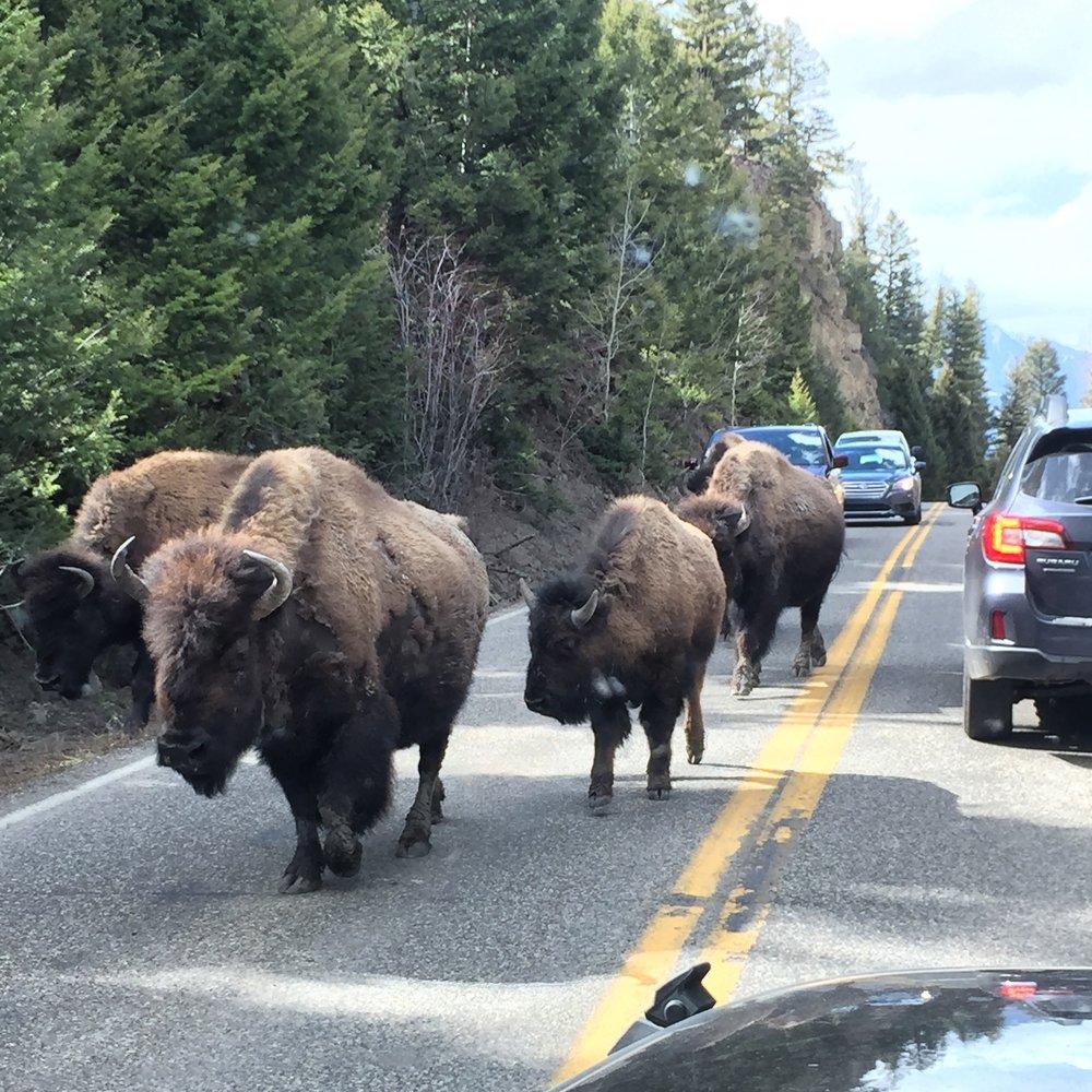 Bison Family.jpg