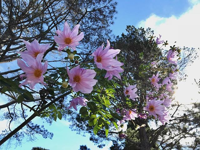 Last of the tree dahlias -goodbye autumn well and truely