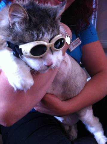 Curtis the cat ready for laser therapy