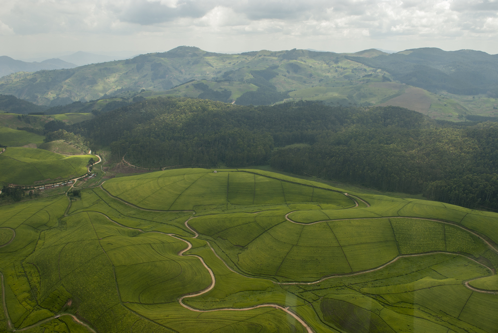 Tea plantation on the edge of forest in Rwanda, Levi S. Norton