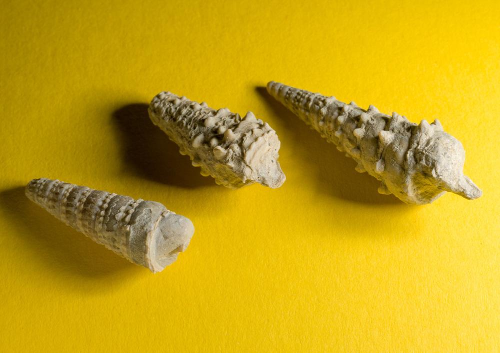 Fossielen uit de Spaanse Pyreneeën. Ongeveer 3 cm lang. Rijswijk, 2014.