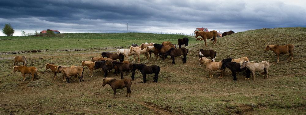 Groep IJslandse paarden in IJsland.