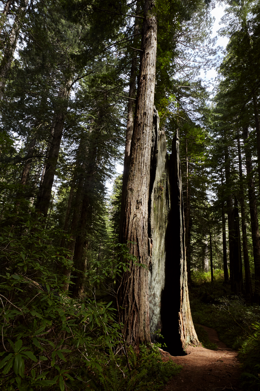 4.1.17-west-coast-redwoods.jpg