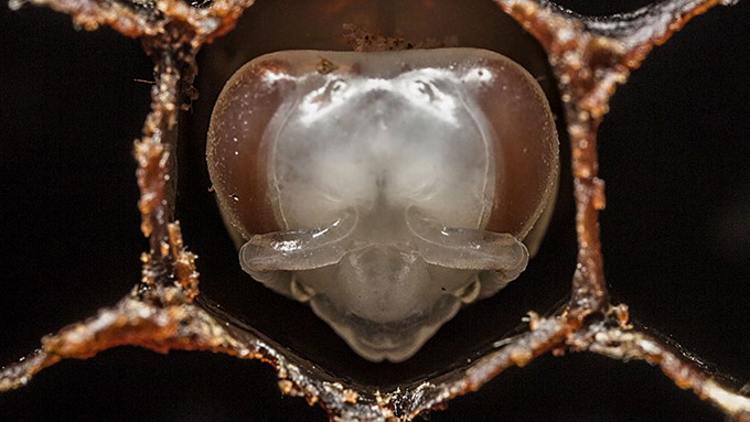 First-21-Days-Of-Bee--s-Life-In-60Second-Timelapse-2.jpg