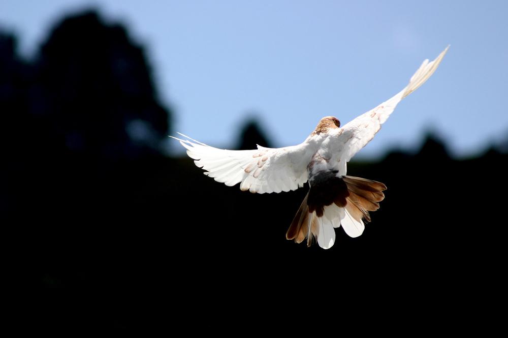flying hawk.jpg