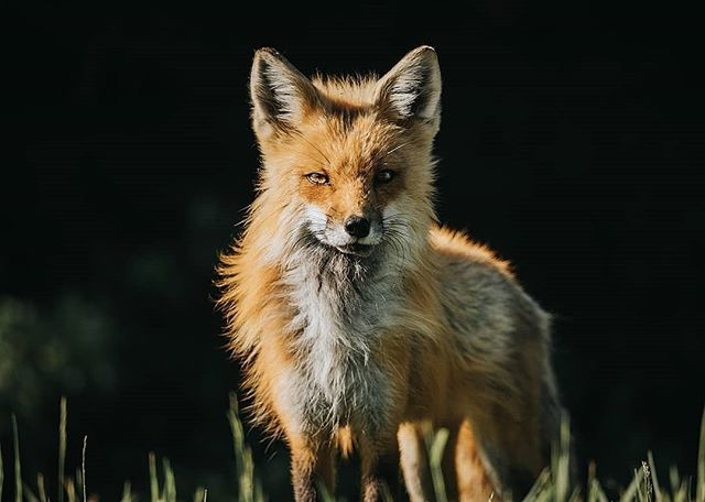 Red Fox at Sunset - Taken with Sony 150-600mm at 600mm 🌲Tag a friend who loves foxes 🐺📷 • • • • • #foxesofinstagram #naturephoto #babyanimals #redfox #animallove #animal_captures #animals_in_world #animalelite #natgeowild_hd #natgeopix #wildlifeonearth #animal_sultans #animalportrait #fox #wildlifephotographer #exploretheglobe #agameofportraits #jaw_dropping_shotz #natgeo #natgeohub @natgeo @natgeoyourshot #natgeoyourshot #moodyports #awesupply #thevisualscollective #eastcoastcreatives #ANE #atlanticnortheast #discovercharlottetown #tourismPEI