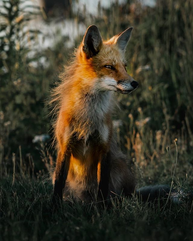 Red Fox at Sunset 🌲Tag a friend who loves foxes 🐺📷 • • • • • #foxesofinstagram #naturephoto #babyanimals #redfox #animallove #animal_captures #animals_in_world #animalelite #natgeowild_hd #natgeopix #wildlifeonearth #animal_sultans #animalportrait #fox #wildlifephotographer #exploretheglobe #agameofportraits #jaw_dropping_shotz #natgeo #natgeohub @natgeo @natgeoyourshot #natgeoyourshot #moodyports #awesupply #thevisualscollective #eastcoastcreatives #ANE #atlanticnortheast #discovercharlottetown #tourismPEI #folkgreen @folkgreen