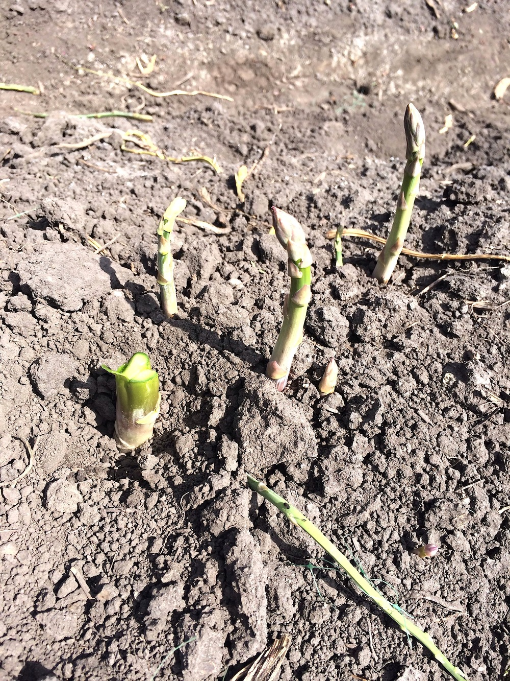 How asparagus grow, as captured during  CUESA's Spring Frittata Farm Tour.
