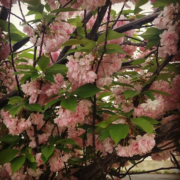 Sakura in bloom still #dc #sakura #cherryblossom #blossoms