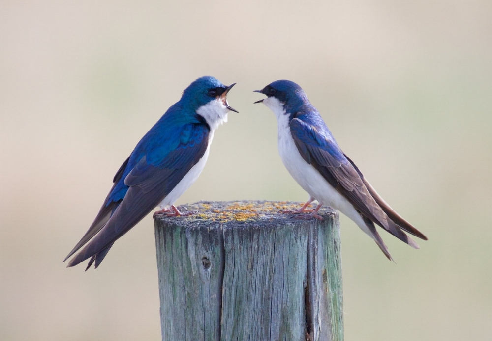 """Two bluebirds on a wooden post"" by Victor Benard"