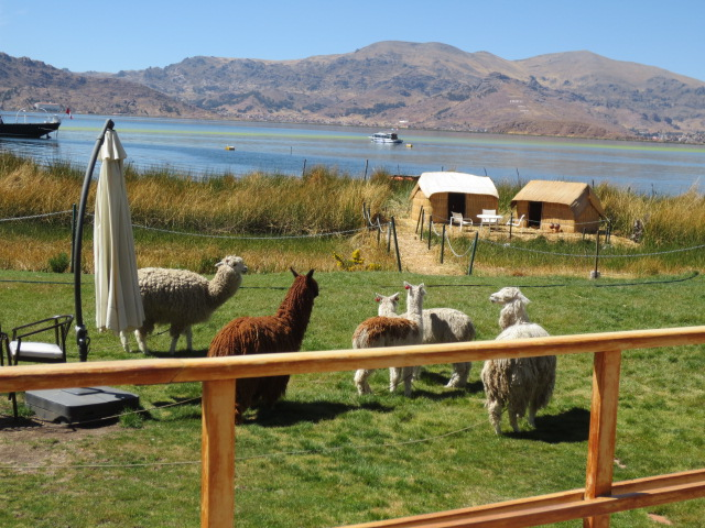 The alpacas are a Lama species