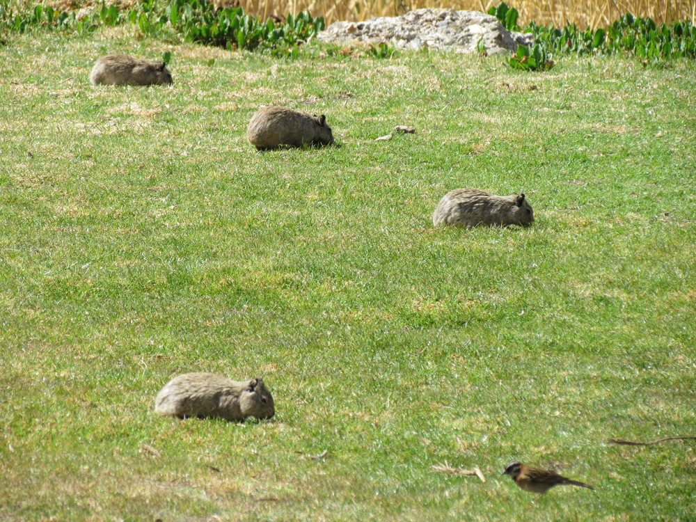 And then we had a big group of Guinea pigs living in the garden as well