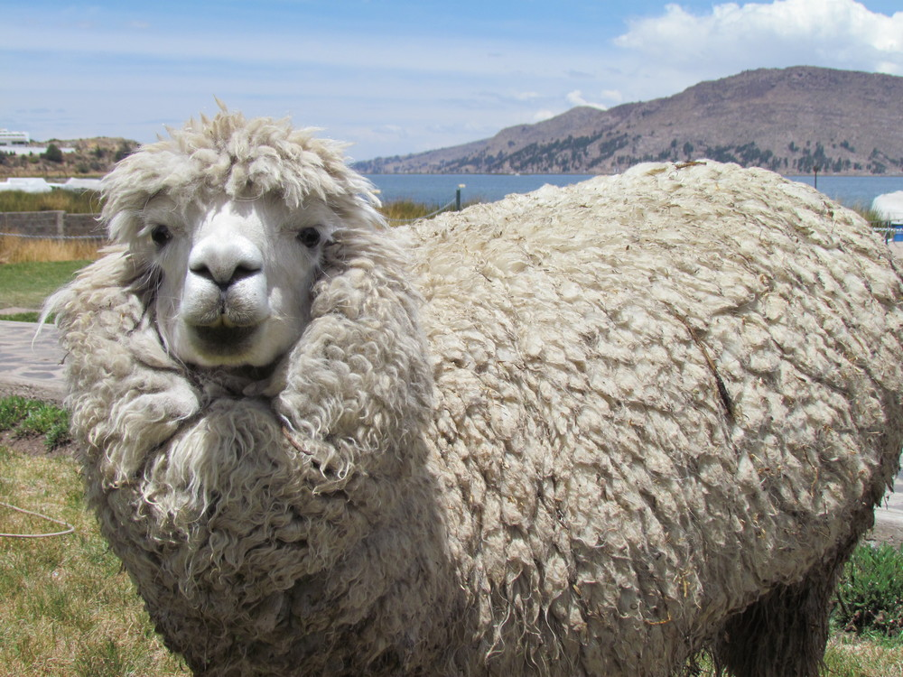 A lot of wool on this alpaca