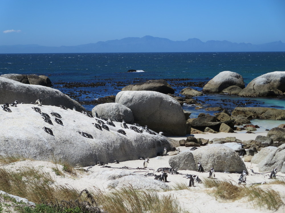 Simon´s Town is famous for the penguins that inhabit the beach