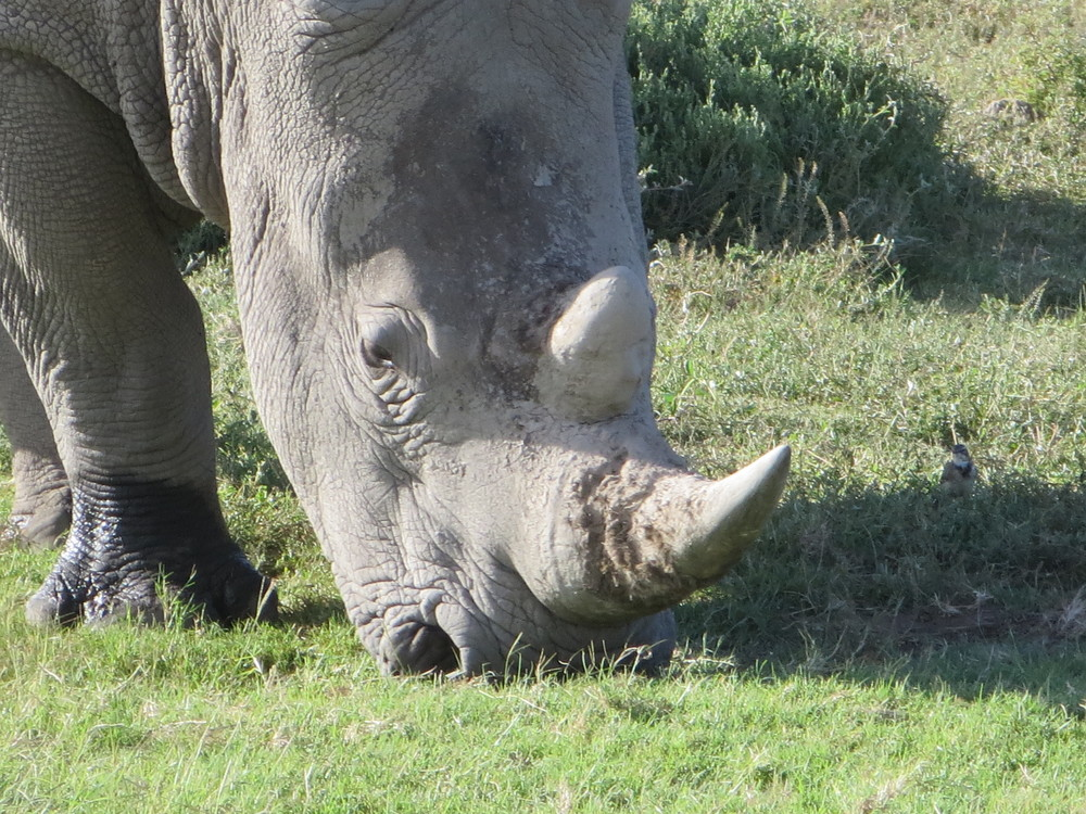 Very close to a Rhino