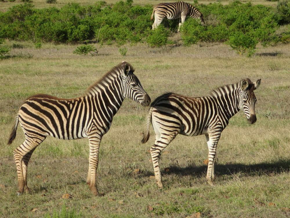 These Zebra babies were playing around