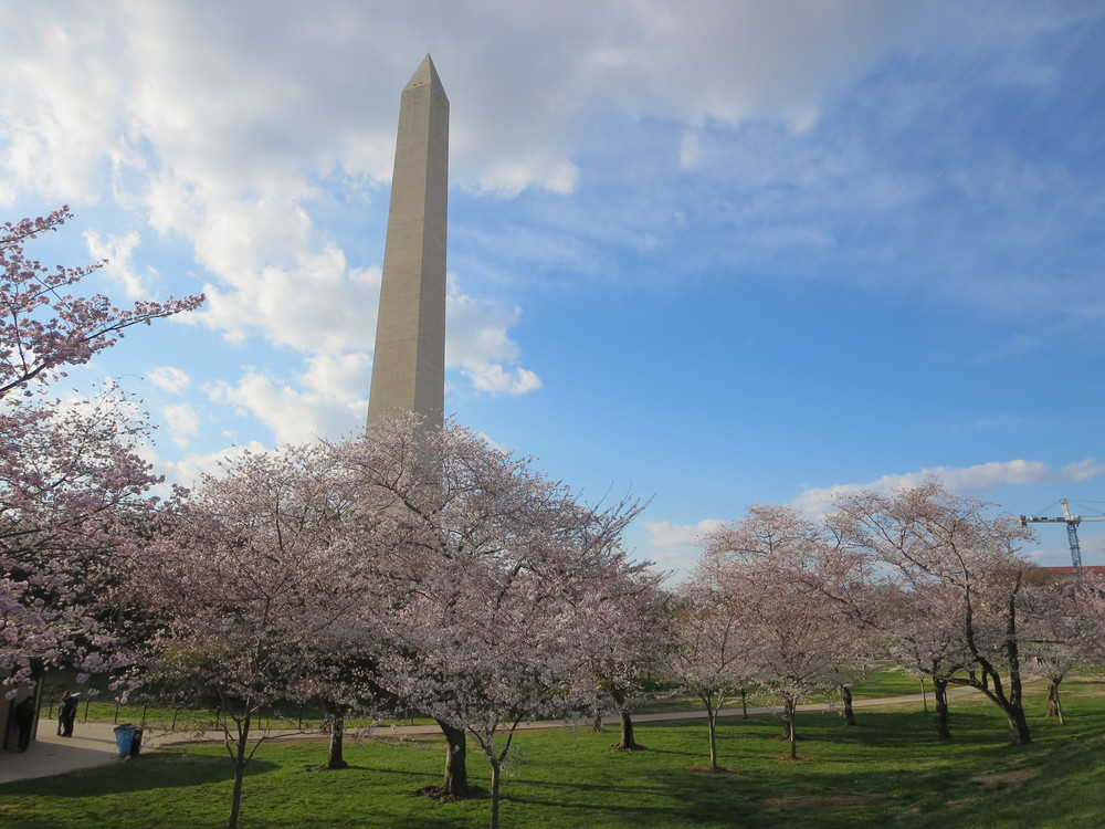 Washington Monument at Cherry Blossom season