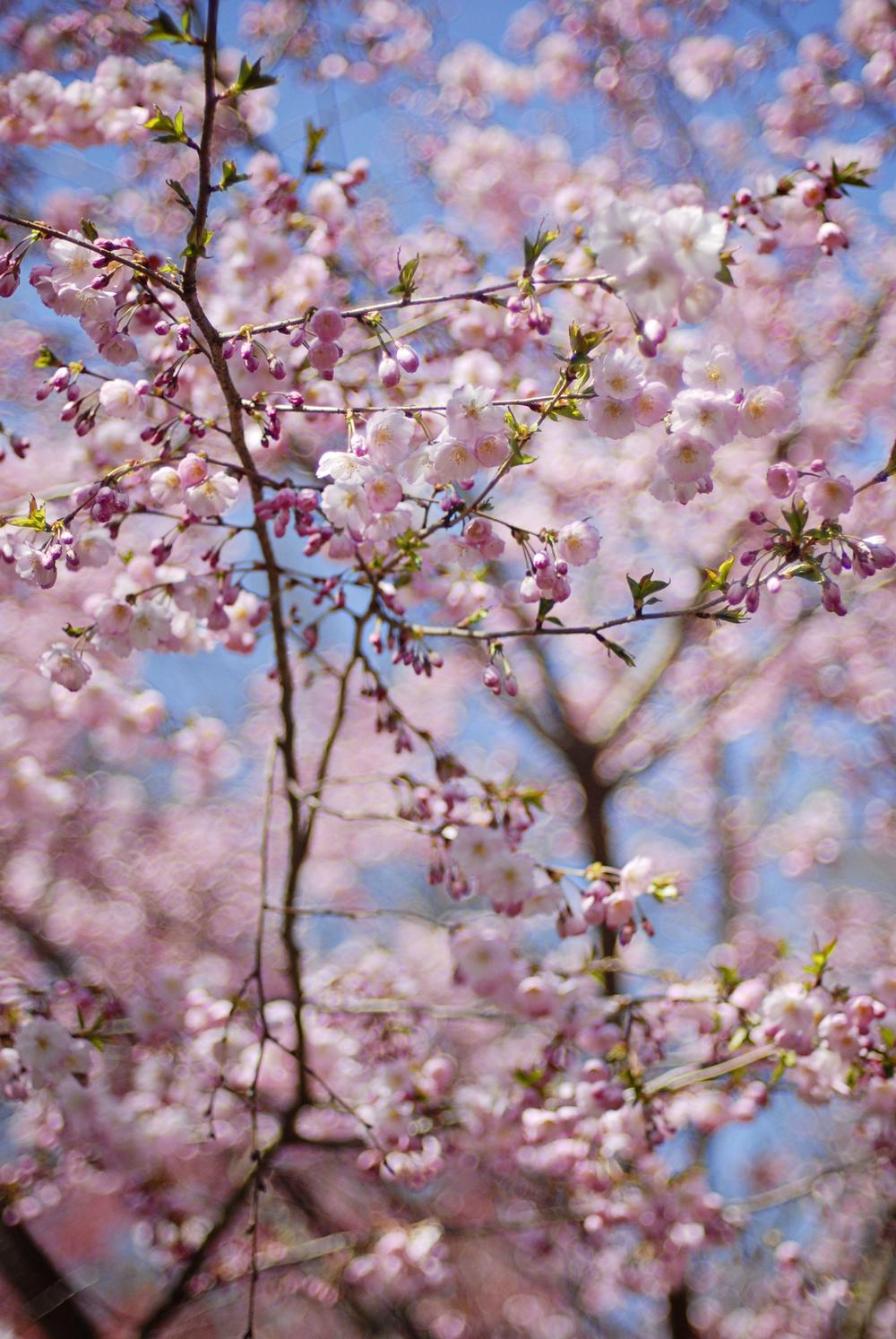 _DSC0020 cherry blossom.jpg