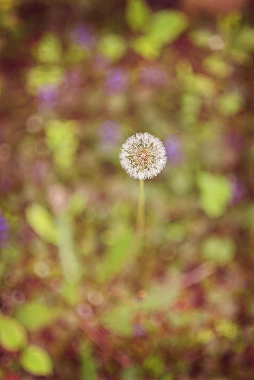 DSC_8918 dandelion.jpg